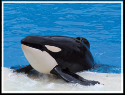 Tilikum's tragic story as published in Veganlife.