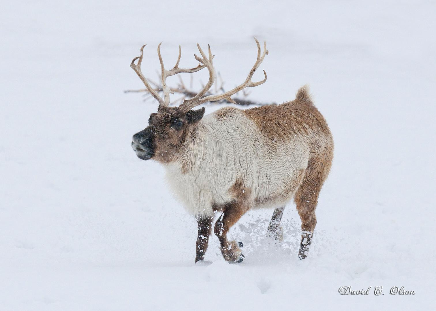 live reindeer - Pictures Of Reindeer