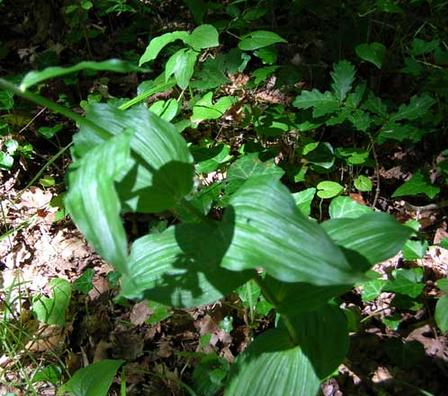 Broad-leaved-helleborine-leaves-France
