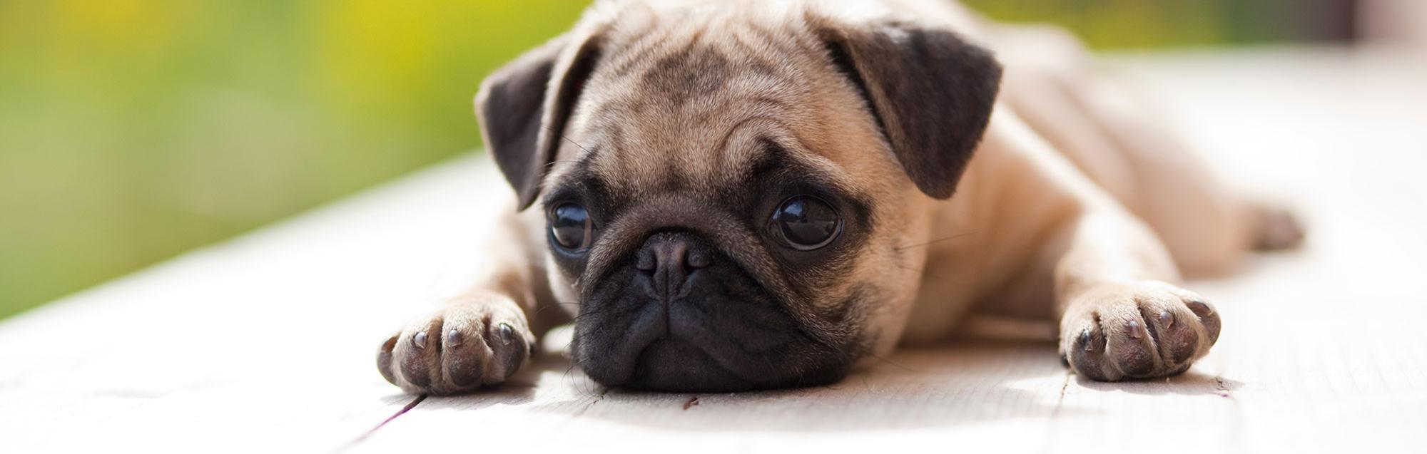 Pug Rescue Of North Carolina Inc Online