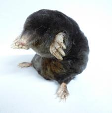 Adrian Johnstone, professional Taxidermist since 1981. Supplier to private collectors, schools, museums, businesses, and the entertainment world. Taxidermy is highly collectable. A taxidermy stuffed adult Sitting Mole (17), in excellent condition.