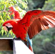 Greenwing Macaw for sale Sydney Australia