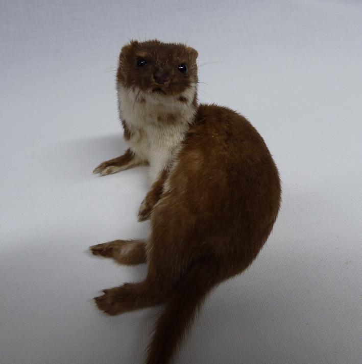 Adrian Johnstone, professional Taxidermist since 1981. Supplier to private collectors, schools, museums, businesses, and the entertainment world. Taxidermy is highly collectable. A taxidermy stuffed Weasel (129), in excellent condition.