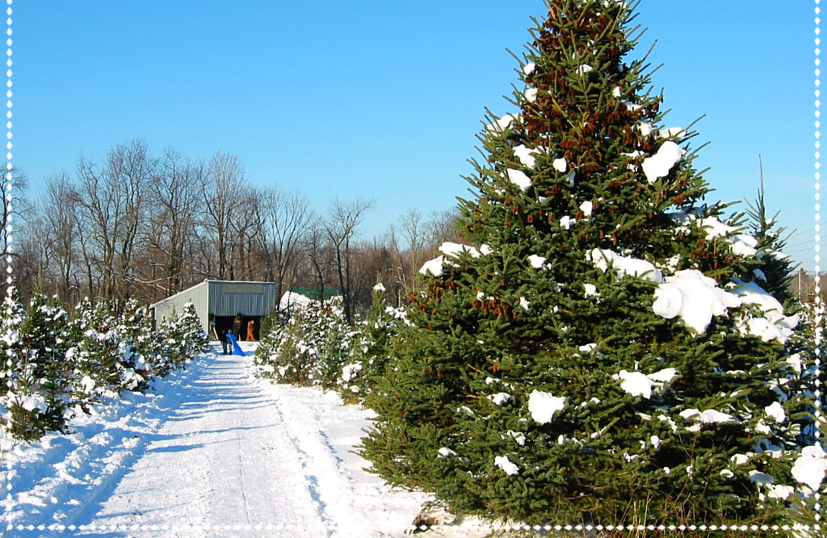 Goodman's Christmas Tree Farm. at Liberty Acres - Home