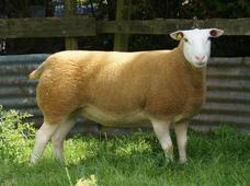 The British Berrichon Sheep Society - Berrichon News