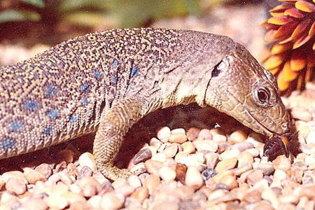 Largest-french-lizard-the-ocellated-lizard.