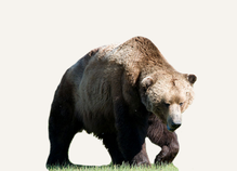 Hunting Brown Bear Bulgaria