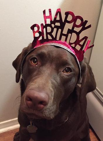 Labrador Retriever Harlow birthday