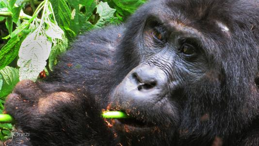 Uganda, mountain gorillas, Bwindi Impenetrable forest national park,