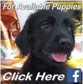 Click For Current Puppies