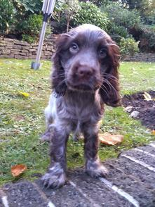 Cocker Spaniel Puppy (Wilson)