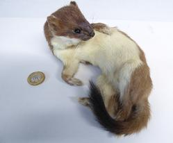 Adrian Johnstone, professional Taxidermist since 1981. Supplier to private collectors, schools, museums, businesses, and the entertainment world. Taxidermy is highly collectable. A taxidermy stuffed Stoat (39), in excellent condition.