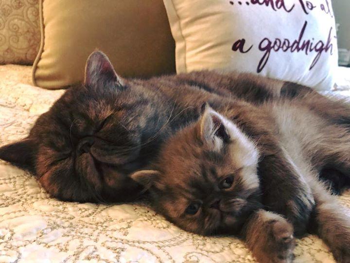 Walnut Valley Persians - persian cat breeders, pet breeder