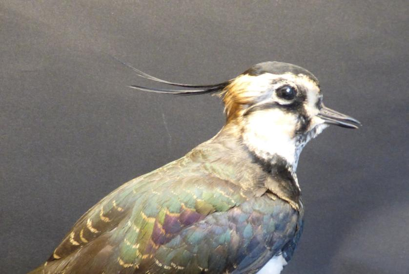 Adrian Johnstone, professional Taxidermist since 1981. Supplier to private collectors, schools, museums, businesses, and the entertainment world. Taxidermy is highly collectible. A taxidermy stuffed Lapwing (9717), in excellent condition. Mobile: 07745 399515 Email: adrianjohnstone@btinternet.com
