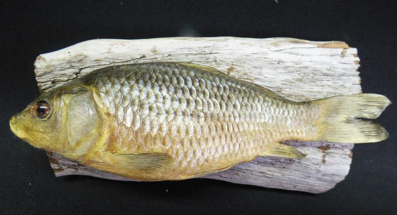 Adrian Johnstone, professional Taxidermist since 1981. Supplier to private collectors, schools, museums, businesses, and the entertainment world. Taxidermy is highly collectable. A taxidermy stuffed young Common Carp (4), in excellent condition.