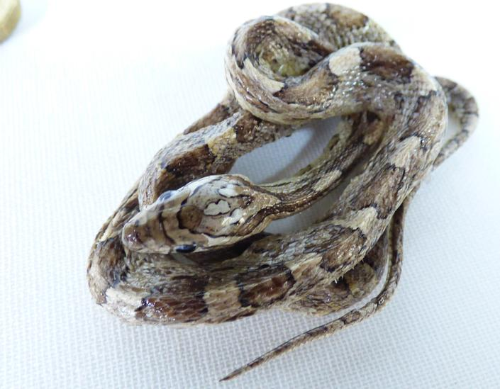 Adrian Johnstone, Professional Taxidermist since 1981. Supplier to private collectors, schools, museums, businesses and the entertainment world. Taxidermy is highly collectable. A taxidermy stuffed Corn Snake (log no:27), in excellent condition.