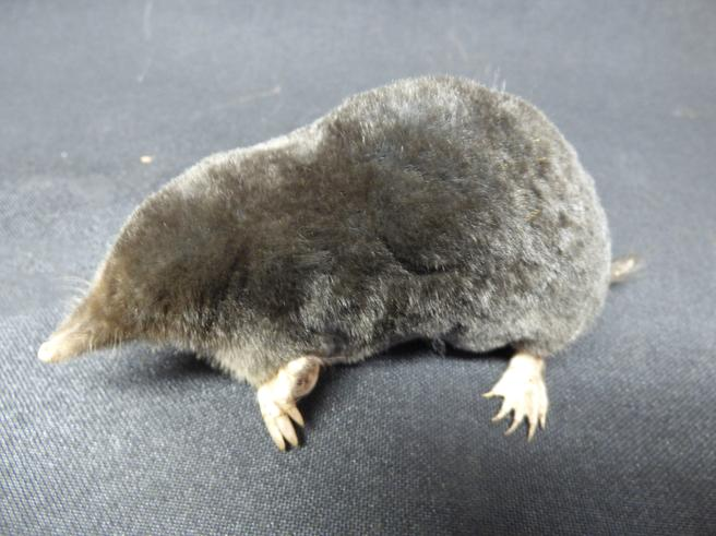 Adrian Johnstone, professional Taxidermist since 1981. Supplier to private collectors, schools, museums, businesses, and the entertainment world. Taxidermy is highly collectable. A taxidermy stuffed Mole (31), in excellent condition.