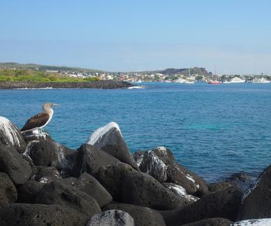 Blue-footed booby perched on top of volcanic rocks