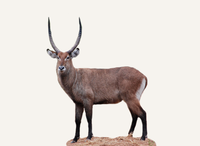 Central African Republic Waterbuck