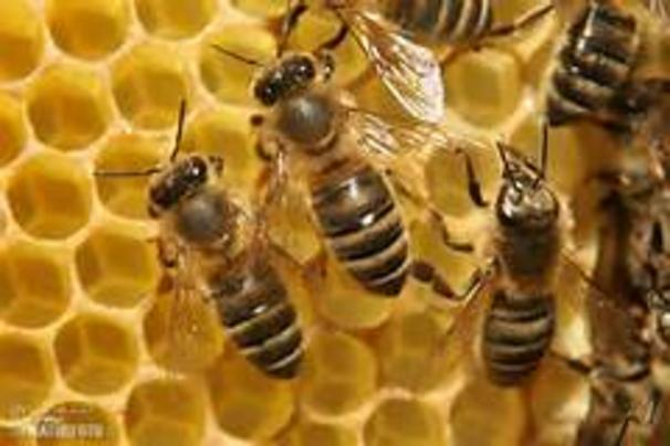 Several bees crawling on a honeycomb.