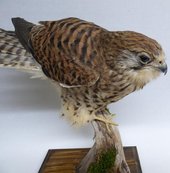 Adrian Johnstone, professional Taxidermist since 1981. Supplier to private collectors, schools, museums, businesses, and the entertainment world. Taxidermy is highly collectable. A taxidermy stuffed Kestrel (9822) in excellent condition. Mobile: 07745 399515 Email: adrianjohnstone@btinternet.com