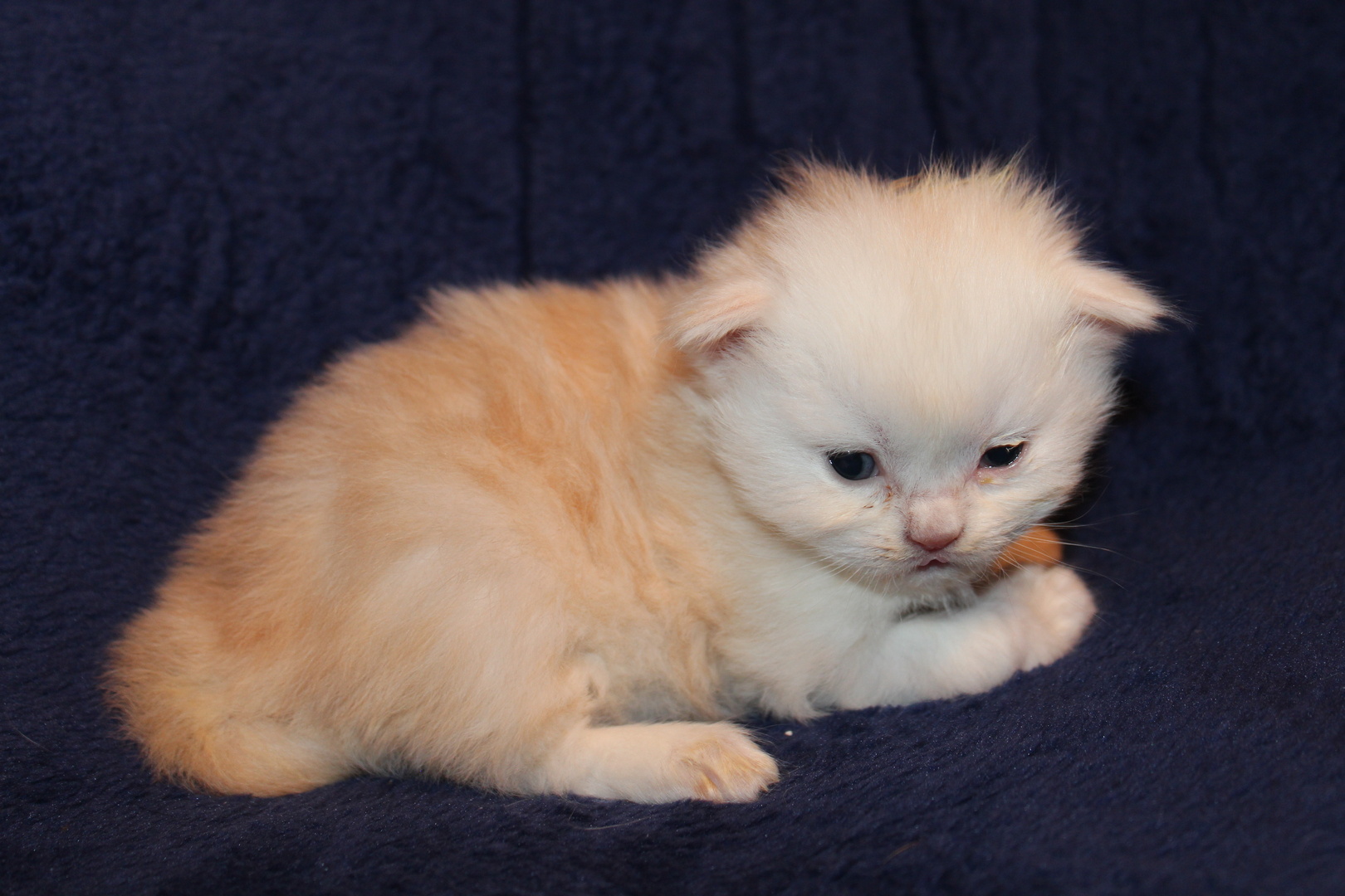 Breed CFA Registered Persians And Exotics Jazmataz Persians