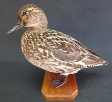 Adrian Johnstone, professional Taxidermist since 1981. Supplier to private collectors, schools, museums, businesses, and the entertainment world. Taxidermy is highly collectable. A taxidermy stuffed Garganey Duck (9497), in excellent condition.