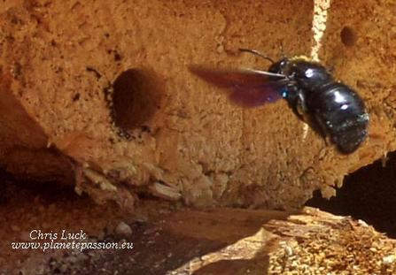 Carpenter-bee-entering-nest-hole-France