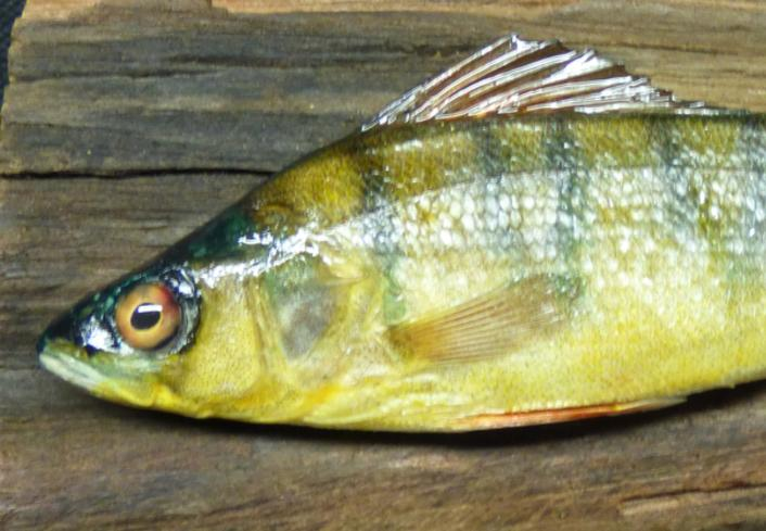 Adrian Johnstone, professional Taxidermist since 1981. Supplier to private collectors, schools, museums, businesses, and the entertainment world. Taxidermy is highly collectible. A taxidermy stuffed Perch (8), in excellent condition.