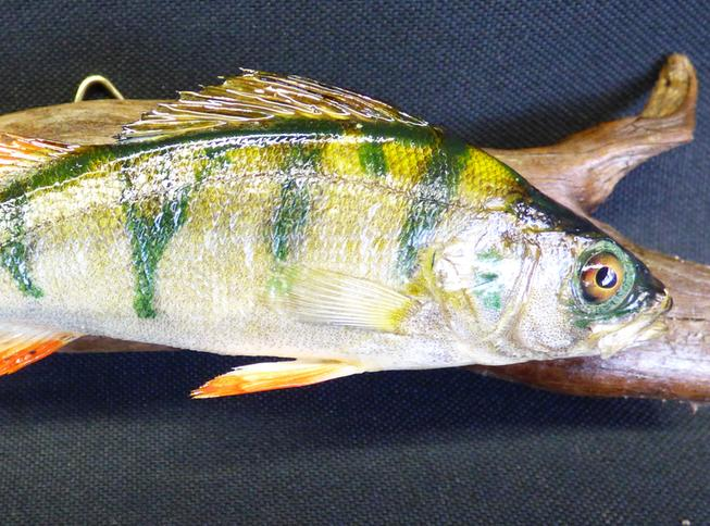 Adrian Johnstone, professional Taxidermist since 1981. Supplier to private collectors, schools, museums, businesses, and the entertainment world. Taxidermy is highly collectable. A taxidermy stuffed young Perch (4), in excellent condition.