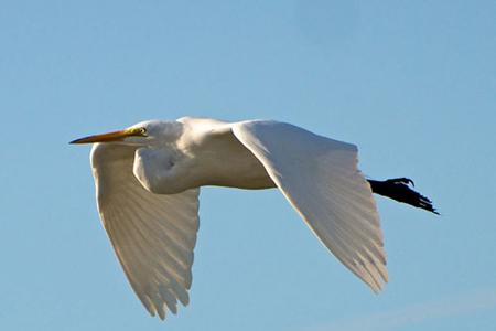 Great-white-egret-a-type-of-heron