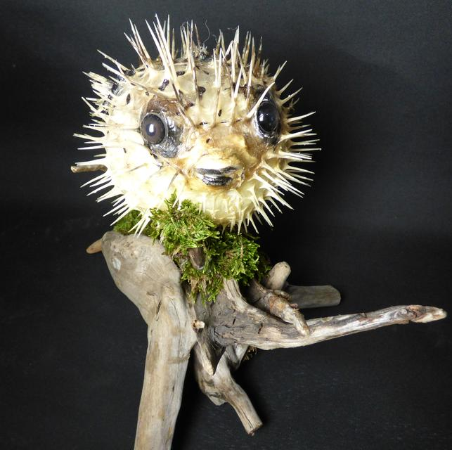 Adrian Johnstone, professional Taxidermist since 1981. Supplier to private collectors, schools, museums, businesses, and the entertainment world. Taxidermy is highly collectable. A taxidermy stuffed Pufferfish (2), in excellent condition.