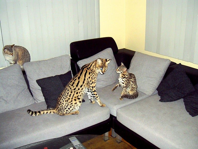 Savannah Kittens for Sale - Savannah Kittens