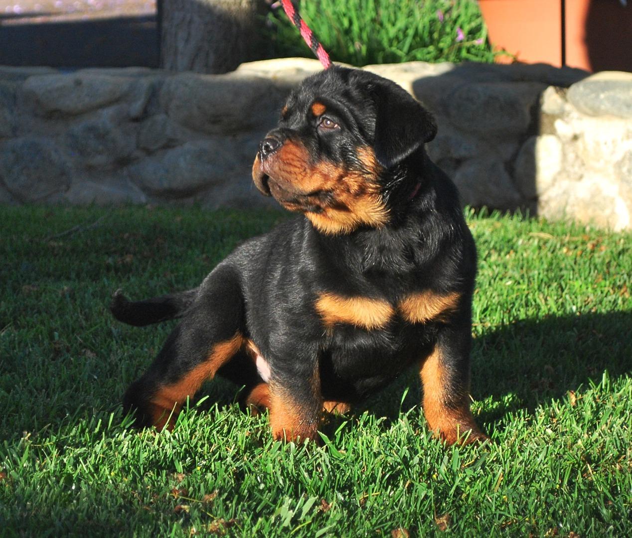 Von Ruelmann Rottweilers Inc German Rottweiler Puppies For Sale