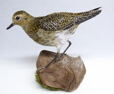 Adrian Johnstone, professional Taxidermist since 1981. Supplier to private collectors, schools, museums, businesses, and the entertainment world. Taxidermy is highly collectable. A taxidermy stuffed Golden Plover (589) in excellent condition. Mobile: 07745 399515 Email: adrianjohnstone@btinternet.com