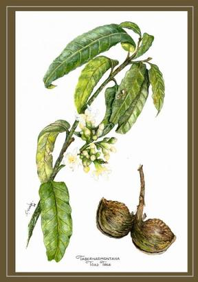 Botanical Art Goauche