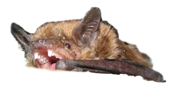 Bat Removal Services Bat Control Livingston County Mi