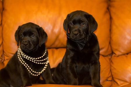 Hornes Labradors Labrador Puppies For Sale Labrador Stud Service