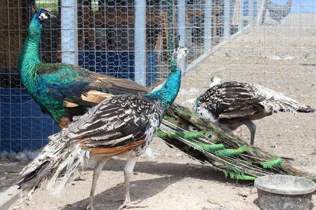 Chickens, rabbits, chicks, Peafowls and pheasants San Antonio