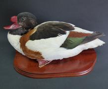 Adrian Johnstone, Professional Taxidermist since 1981. Supplier to private collectors, schools, museums, businesses and the entertainment world. Taxidermy is highly collectable. A taxidermy stuffed drake Shelduck, in excellent condition.