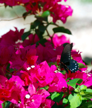 Bougainvillea with vibrant fuchsia colored blooms accented by lush emerald green foliage accompanied by a nectar-loving butterfly.Bougainvillea with vibrant fuchsia colored blooms accented by lush emerald green foliage accompanied by a nectar-loving butterfly.