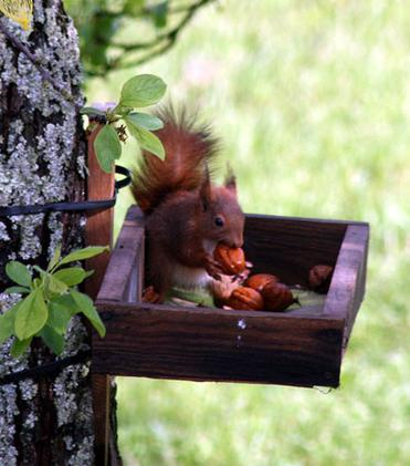 Red-squirrel-nuts-France