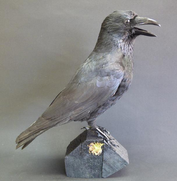Adrian Johnstone, Professional Taxidermist since 1981. Supplier to private collectors, schools, museums, businesses and the entertainment world. Taxidermy is highly collectable. A taxidermy stuffed Carrion Crow (9134), in excellent condition.