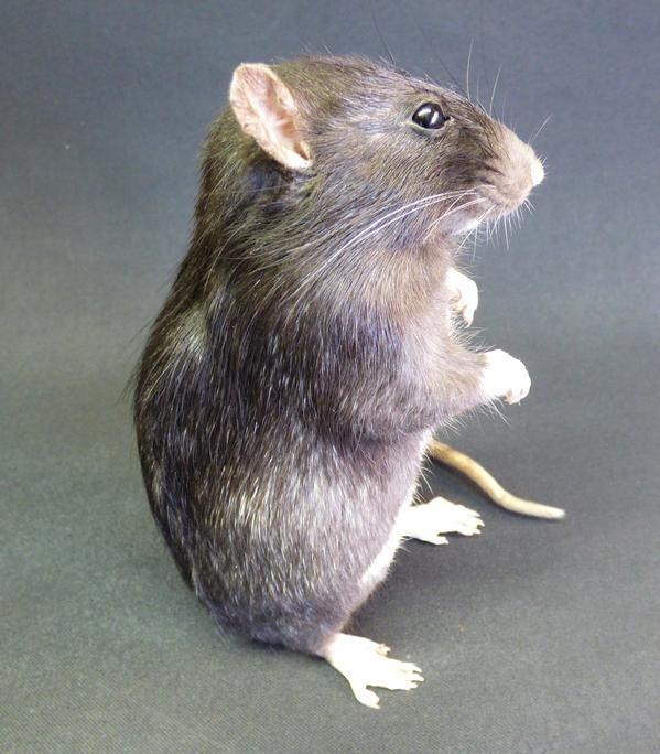 Adrian Johnstone, professional Taxidermist since 1981. Supplier to private collectors, schools, museums, businesses, and the entertainment world. Taxidermy is highly collectable. A taxidermy stuffed adult Rat (9) in excellent condition.