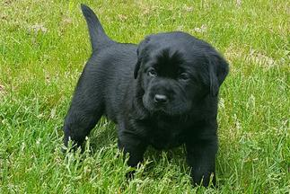 De Soleil Labradors - High Quality English Style Labrador