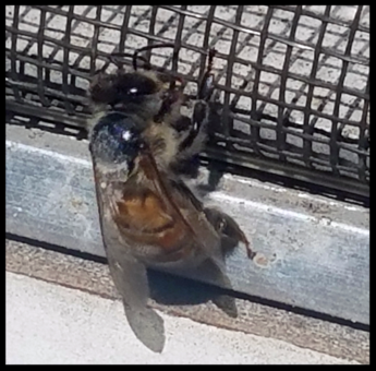 Bee Bathing Herself