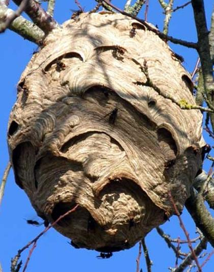 Asian-Hornet-nest-high-in-a-tree-France