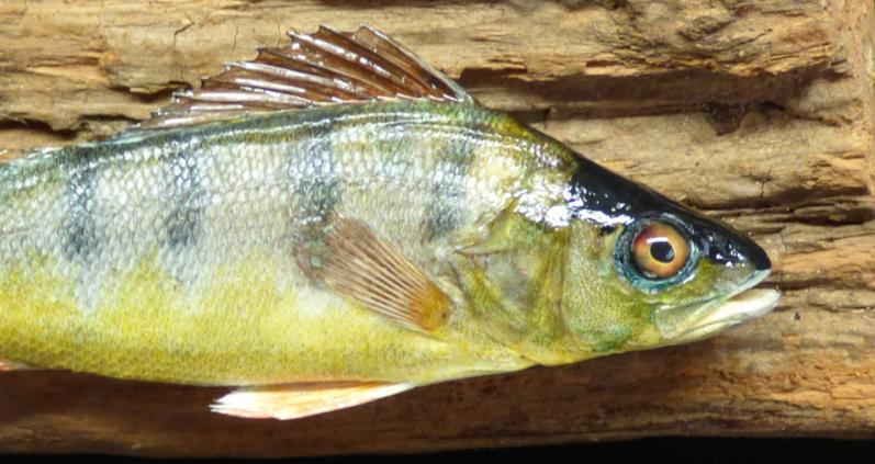 Adrian Johnstone, professional Taxidermist since 1981. Supplier to private collectors, schools, museums, businesses, and the entertainment world. Taxidermy is highly collectable. A taxidermy stuffed young Perch (6), in excellent condition.