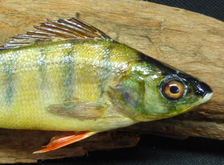Adrian Johnstone, professional Taxidermist since 1981. Supplier to private collectors, schools, museums, businesses, and the entertainment world. Taxidermy is highly collectible. A taxidermy stuffed Perch (12), in excellent condition.
