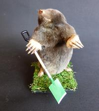 Adrian Johnstone, Professional Taxidermist since 1981. Supplier to private collectors, schools, museums, businesses and the entertainment world. Taxidermy is highly collectible. A taxidermy stuffed Gardening Mole (47), in excellent condition.